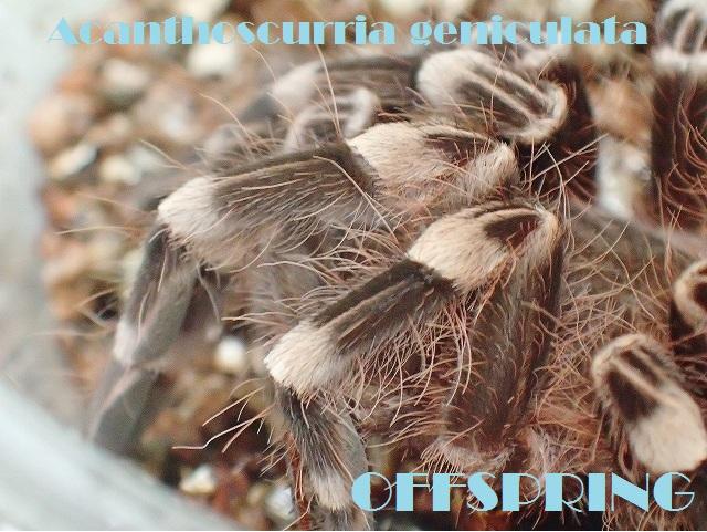 Acanthoscurria008.jpg