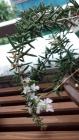 ローズマリーの花。