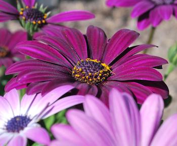 オステオスペルマム紫