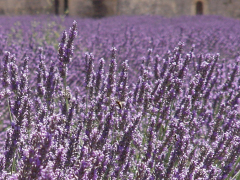 lavend_3.jpg