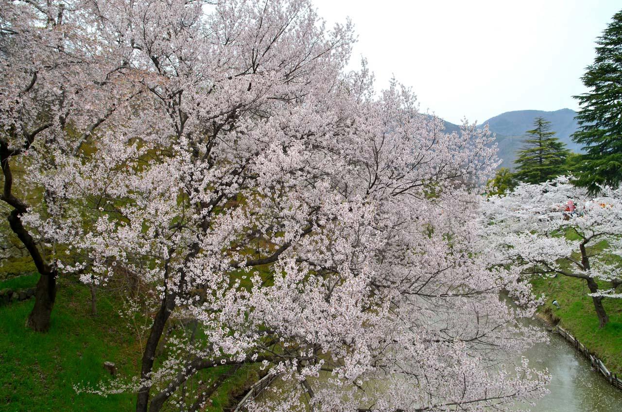 D70_8991上田城跡の桜