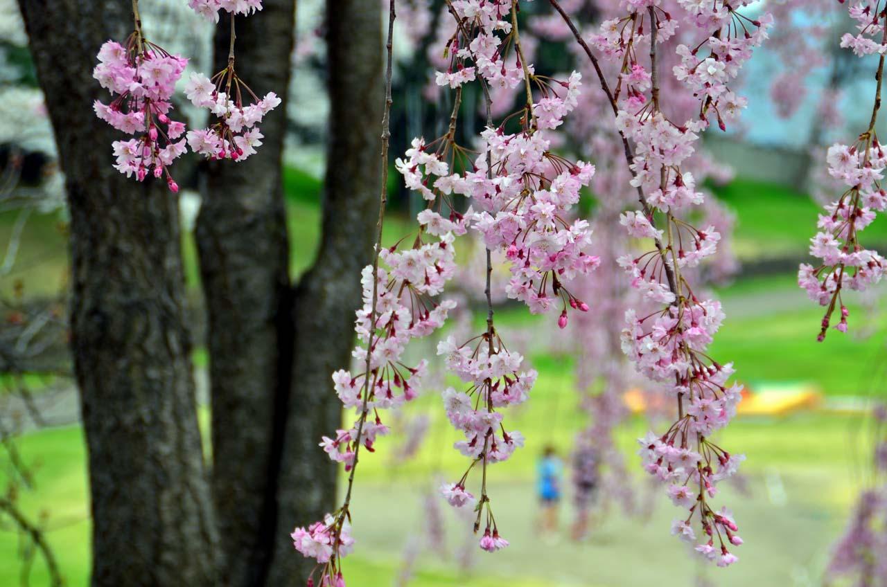 D70_9029上田城跡の桜