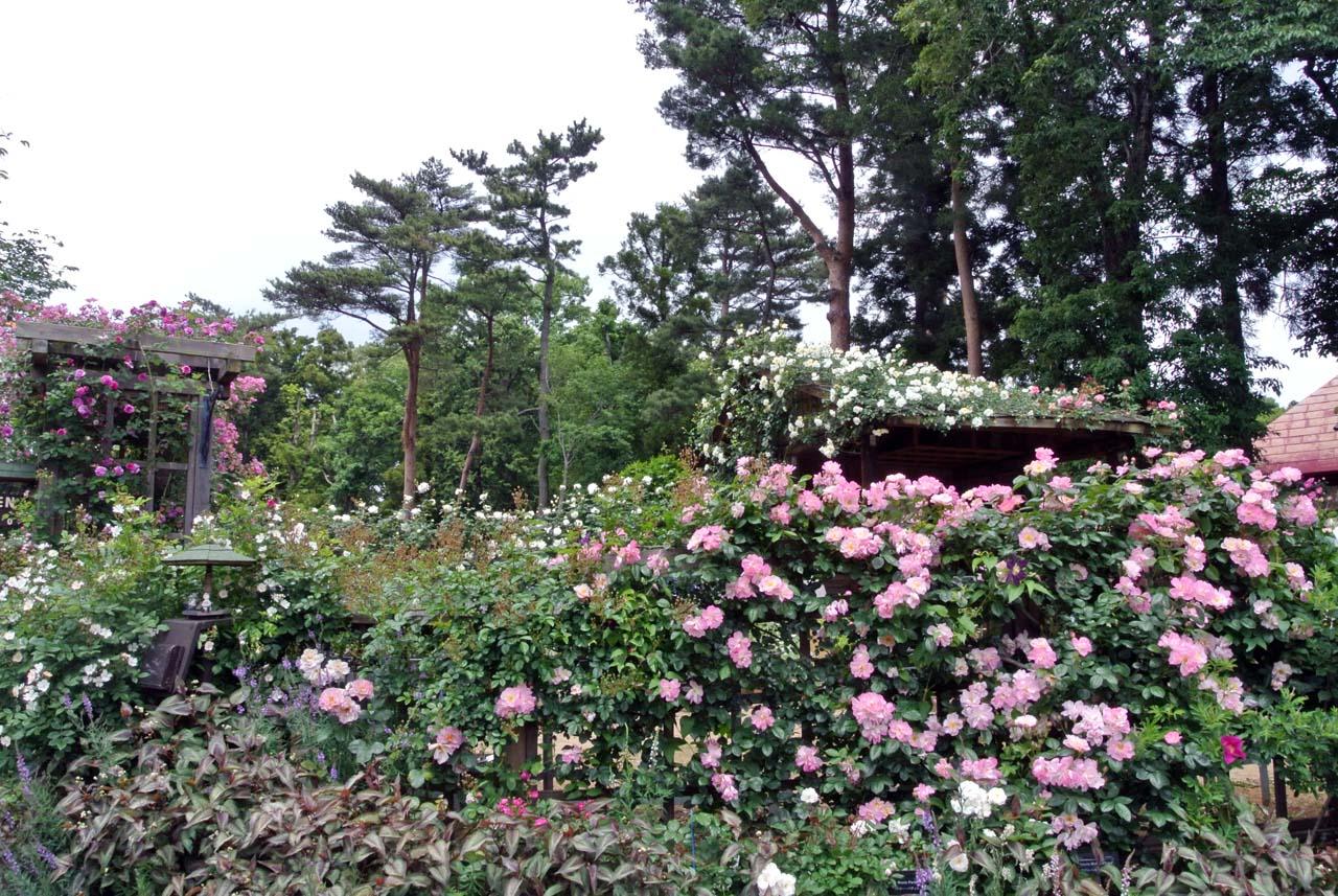 DSC_4052薔薇