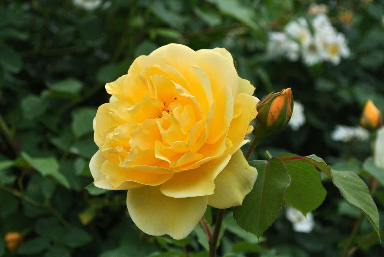 DSC_4033薔薇