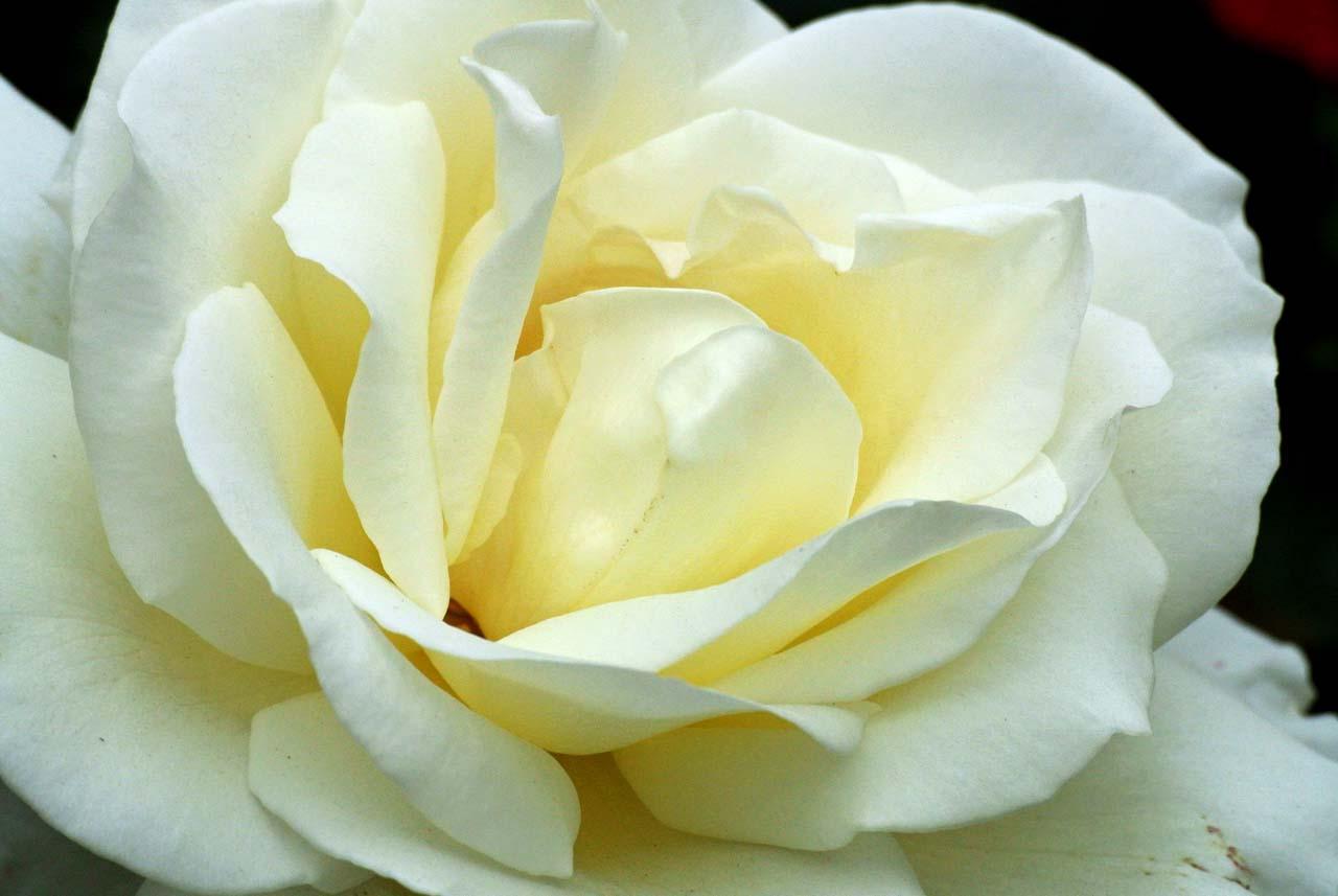 DSC_4076薔薇
