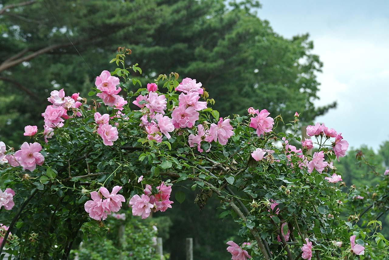 DSC_4131薔薇