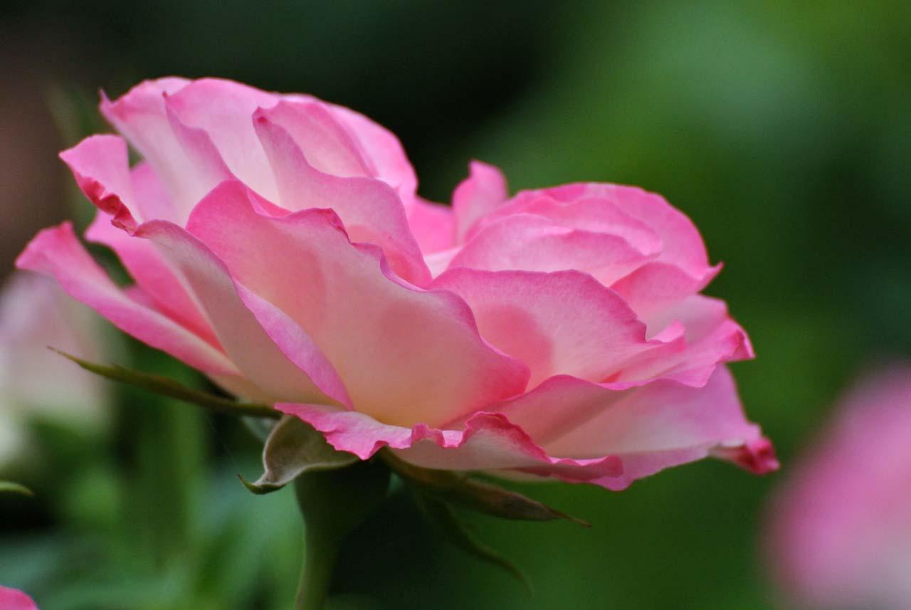 DSC_4128薔薇