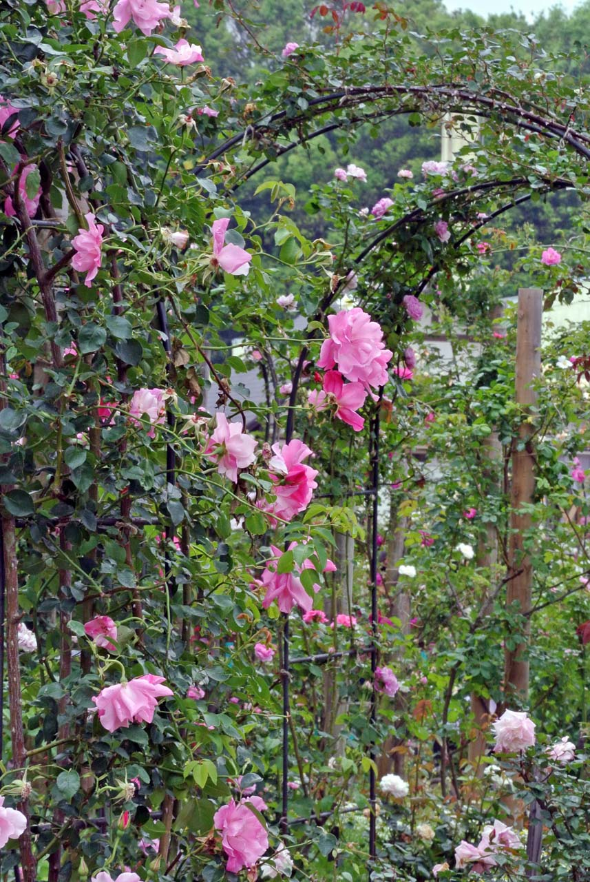 DSC_4135薔薇
