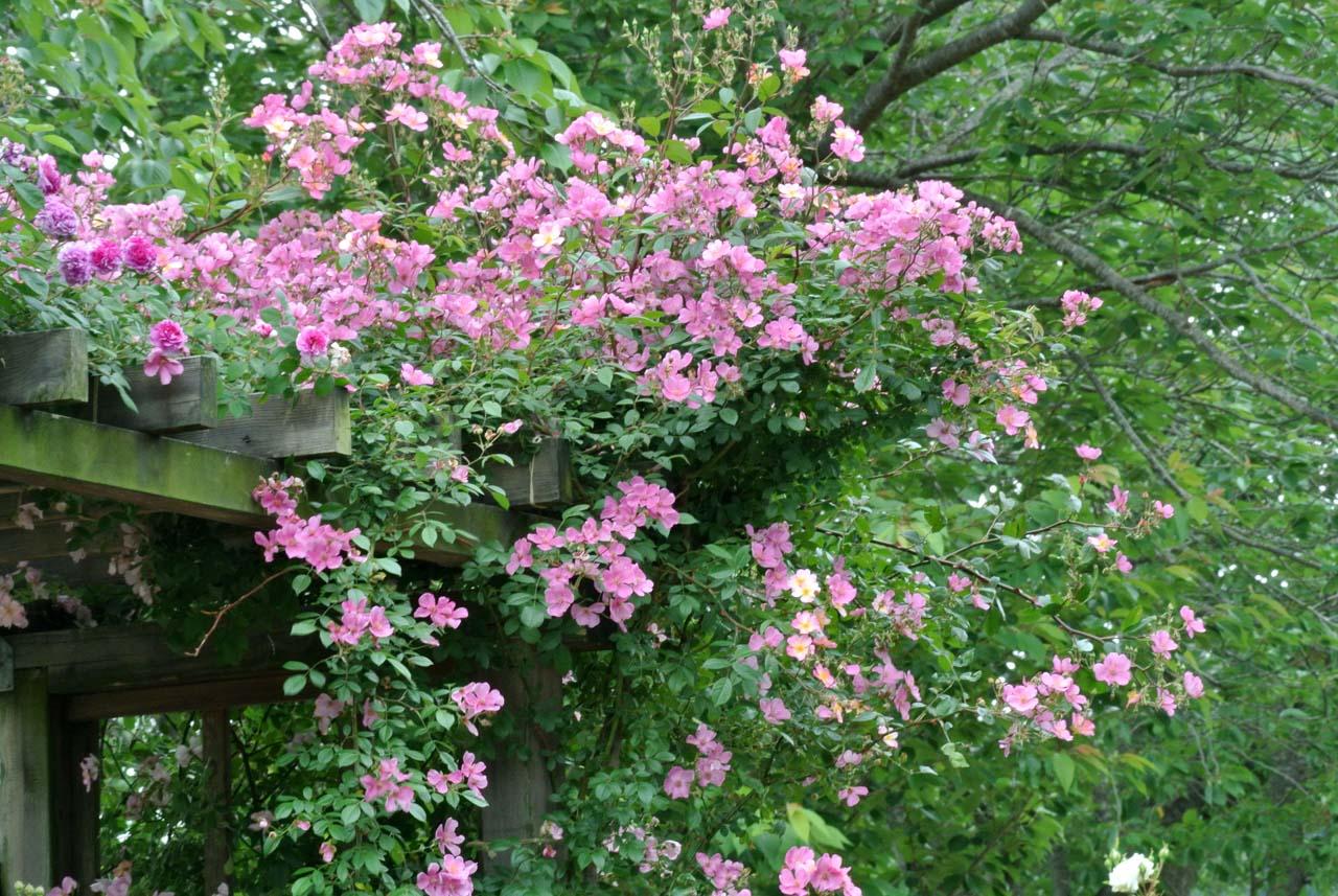 DSC_4143薔薇