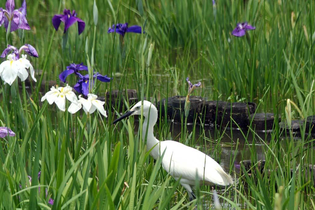 花ショウブとコサギ