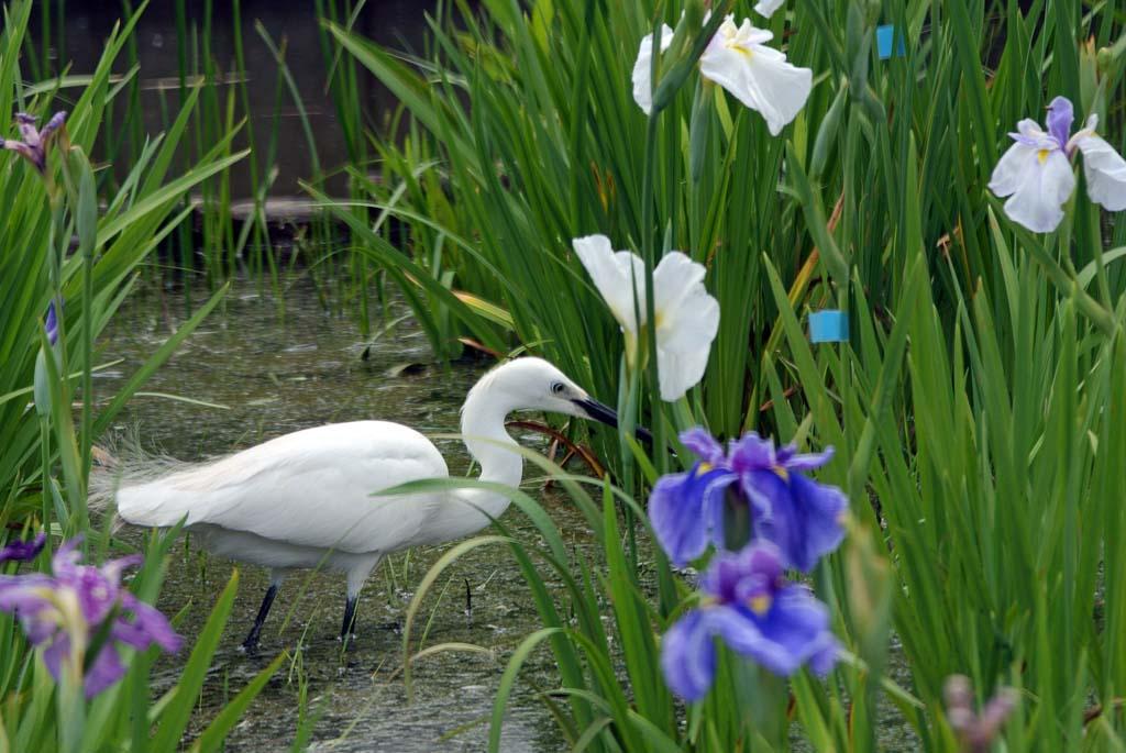花ショウブとコサギ3