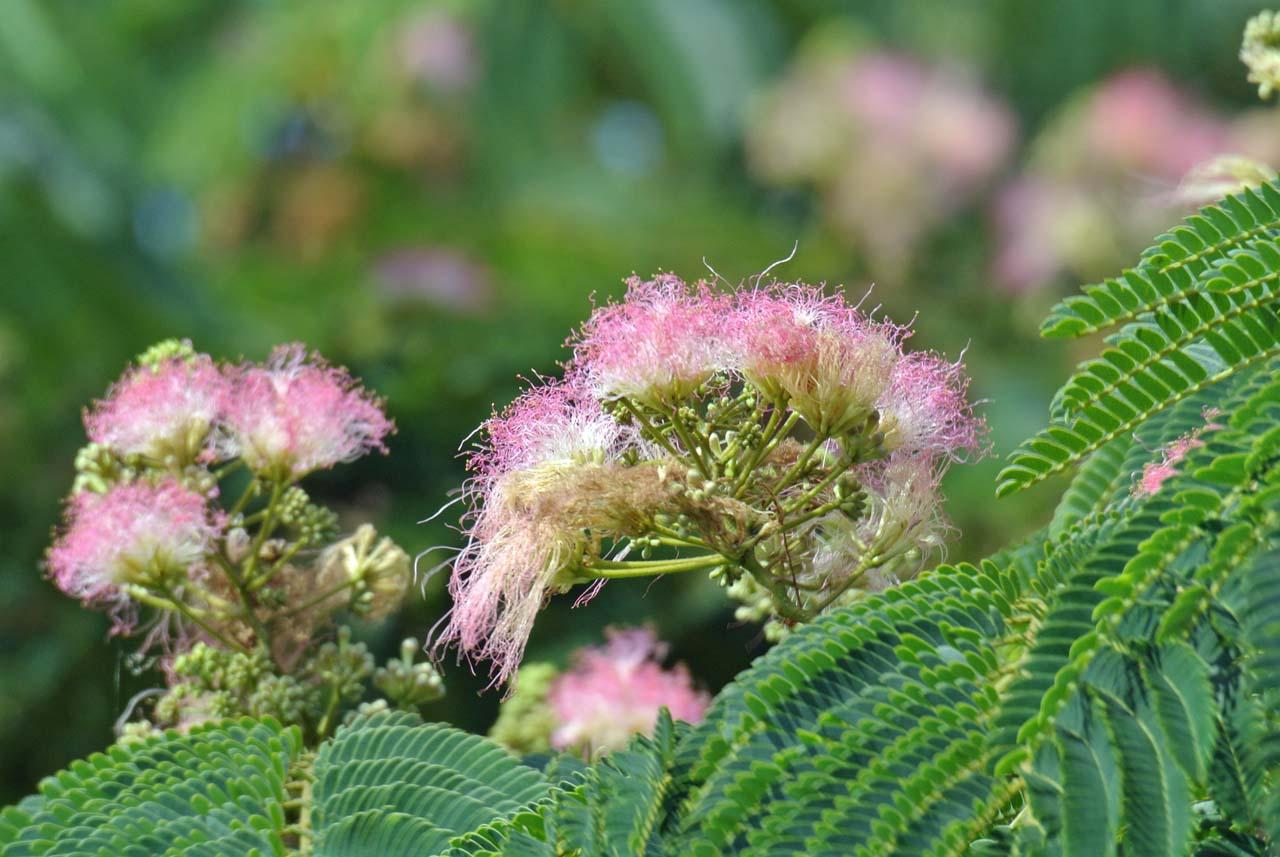 DSC_6368ネムの花