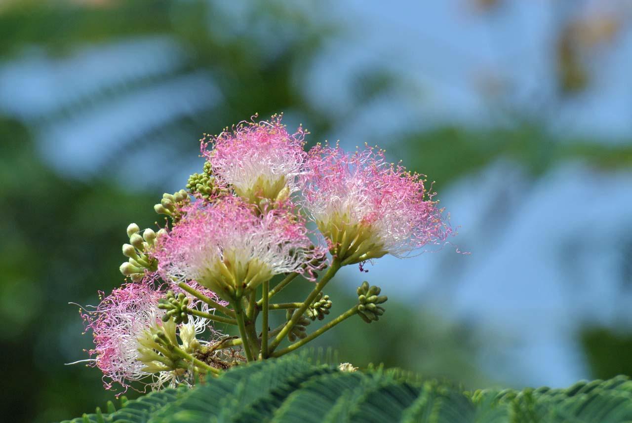 DSC_6382ネムの花