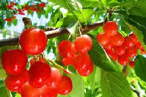 cherryfulleat.jpg