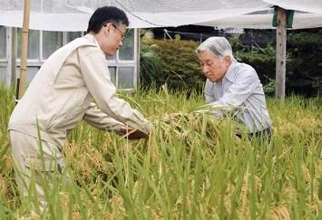 お稲刈り(皇居内生物学研究所)2