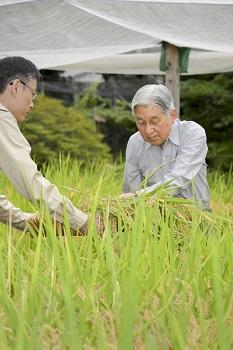 お稲刈り(皇居内生物学研究所)