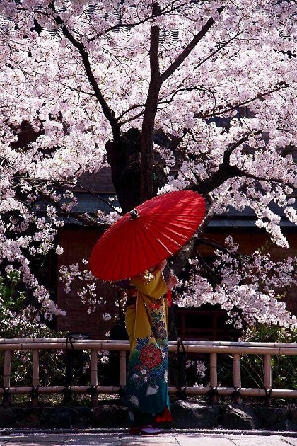 日本 桜 着物 女性