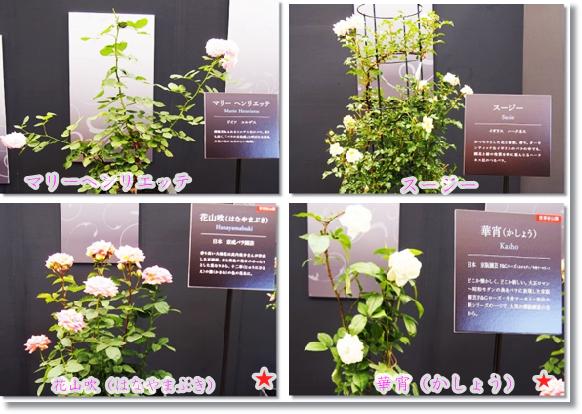 2016年発表新種バラ2-2