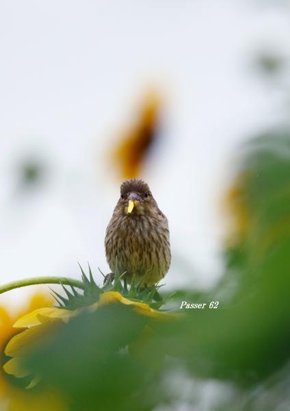 カワラヒワ幼鳥2