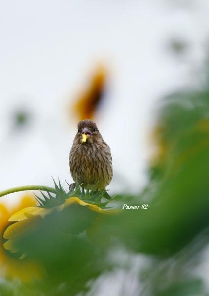 カワラヒワ幼鳥3