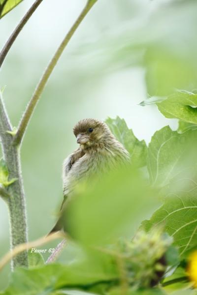 カワラヒワ幼鳥