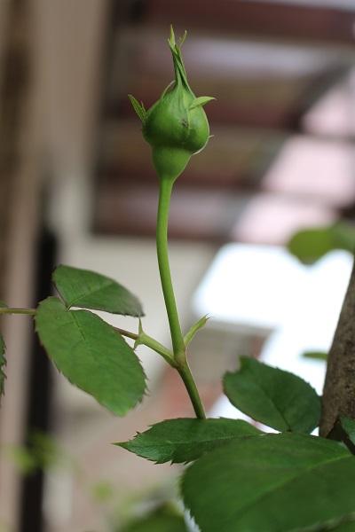 2016.05.13 薔薇便り-3
