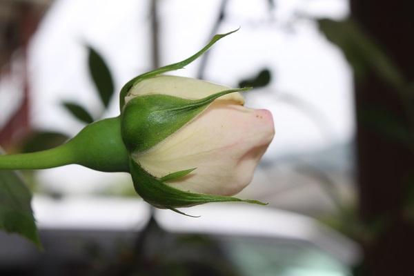 2016.05.17 続・薔薇便り-6