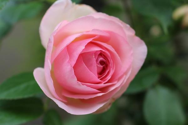 2016.05.17 続・薔薇便り-7