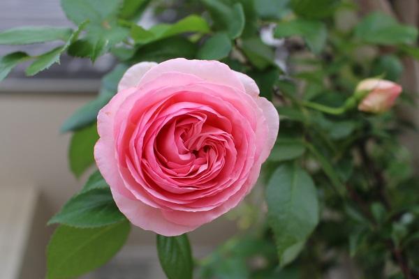2016.05.23 続・続・薔薇便り-1