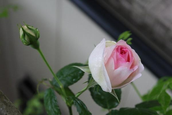 2016.05.23 続・続・薔薇便り-6
