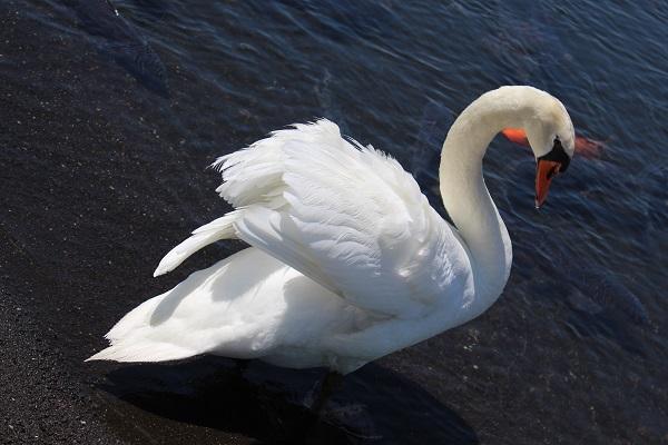 2016.06.04 富士五湖旅行 2日目⑤ 山中湖白鳥の湖①-4