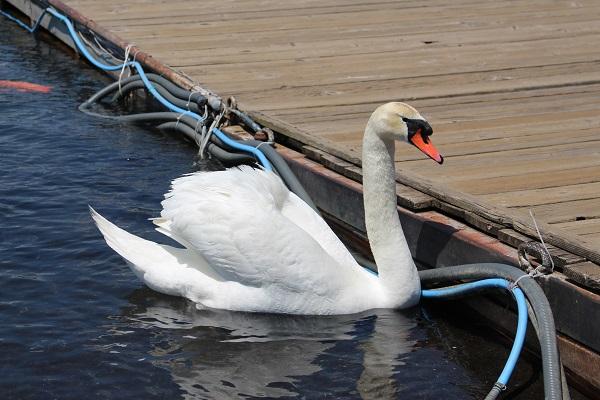 2016.06.04 富士五湖旅行 2日目⑤ 山中湖白鳥の湖①-5