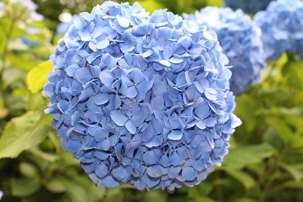 2016.06.29 柳谷観音(紫陽花)②-2