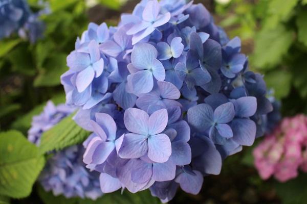 2016.06.29 柳谷観音(紫陽花)②-3
