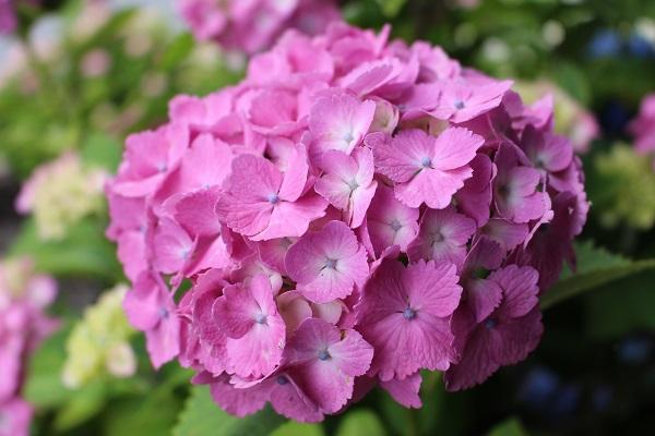 2016.06.29 柳谷観音(紫陽花)②-6