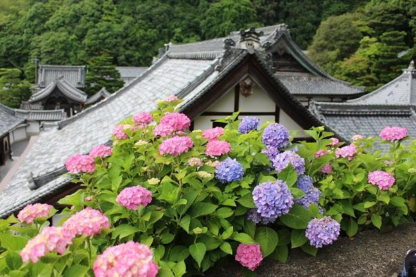2016.06.30 柳谷観音(紫陽花)③-1