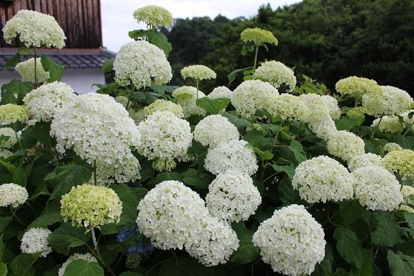 2016.06.30 柳谷観音(紫陽花)③-8