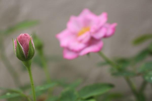2016.08.04 ミニ薔薇-5