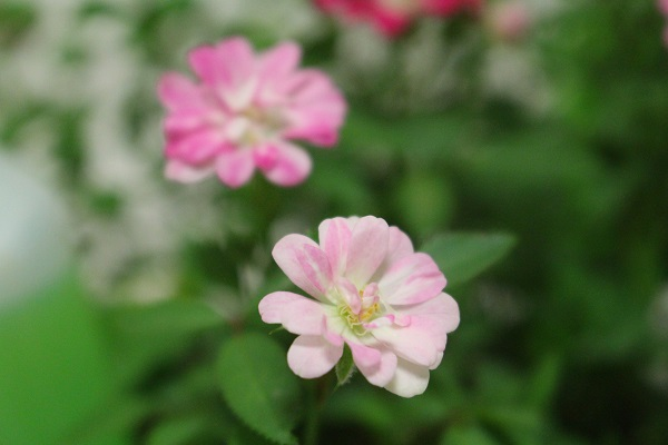 2016.08.04 ミニ薔薇-9
