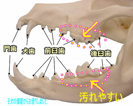 canine-dentition.jpg