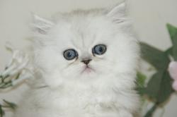 宮城県仙台市・塩釜市/ペルシャの子猫販売