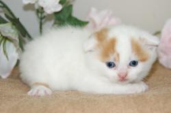 宮城県仙台市・塩釜市のペットショップ/ブリーダー直販子猫