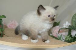 宮城県仙台市・塩釜市のペットショップ/ラグドールの子猫販売中