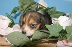 宮城県仙台市、塩竃市のペットショップ/ビーグルの子犬販売中