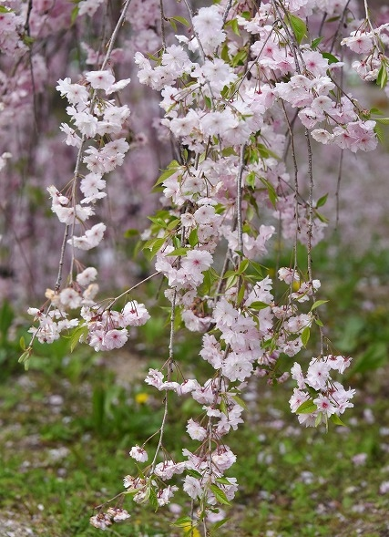 花のまわりみち7