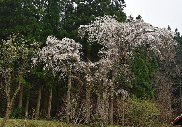 芸北桜10