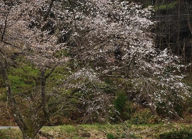 芸北桜12