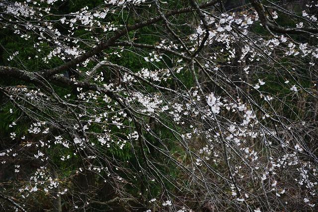芸北桜11