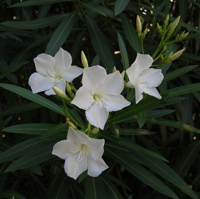 夏の花10