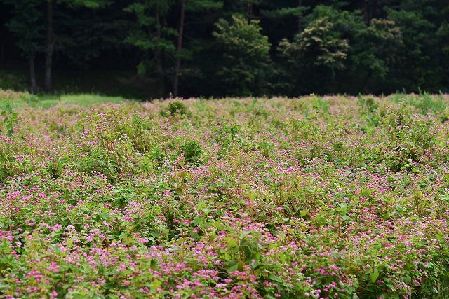 そばの花4